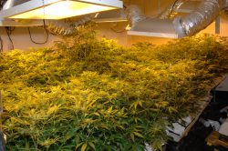 Marijuana Grow Hazards Safety Training for Regulators Webinar