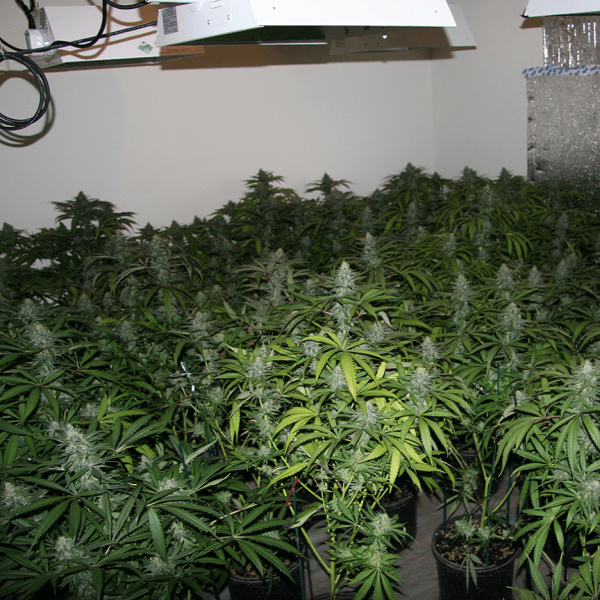 Marijuana Grow Hazards Safety for Law Enforcement